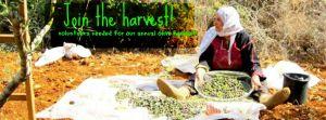 olive harvest rhr